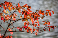 Leaves are turning red at fall - © 2012 Jean-François Schmitz