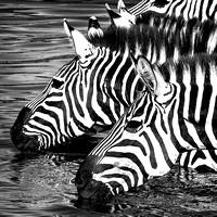 B&W wildlife